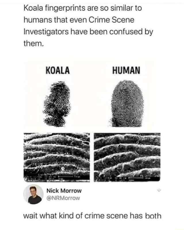 Koala fingerprints are so similar to humans that even Crime Scene Investigators have been confused by them. KOALA HUMAN Nick wait what kind of crime scene has both meme