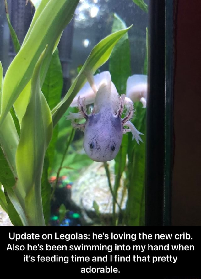 Update on Legolas he's loving the new crib. Also he's been swimming into my hand when it's feeding time and find that pretty adorable.  Update on Legolas he's loving the new crib. Also he's been swimming into my hand when it's feeding time and I find that pretty adorable meme