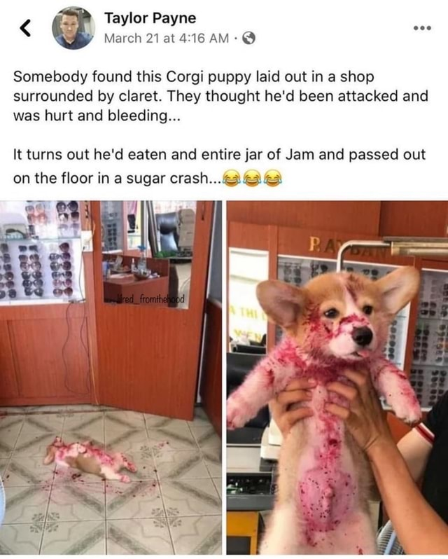 Taylor Payne y March 21 at AM  Somebody found this Corgi puppy laid out in a shop surrounded by claret. They thought he'd been attacked and was hurt and bleeding It turns out he'd eaten and entire jar of Jam and passed out on the floor in a sugar crash memes