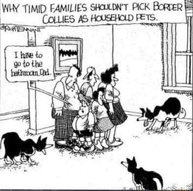 WHY TIMID FAMILIES SHOULDN'T PICK BoRTER COLLIES AS HOUSEHOLD FETS memes