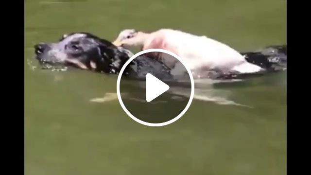 Duck bully two dogs - Funny Videos - funvizeo.com - duck, dog, pet, bully