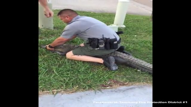 Police catch crocodiles going into residential areas