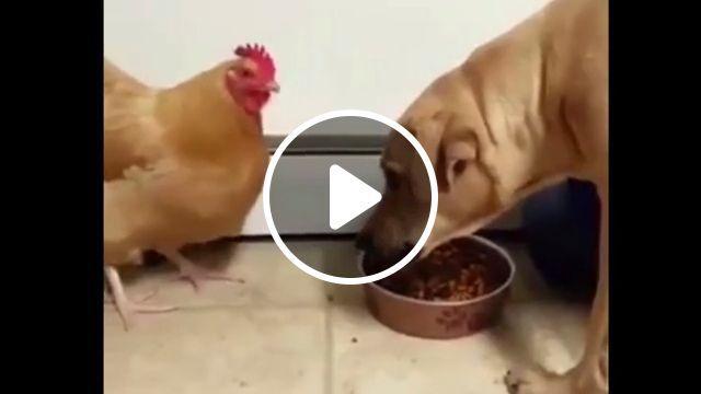 The bravest chicken in the world