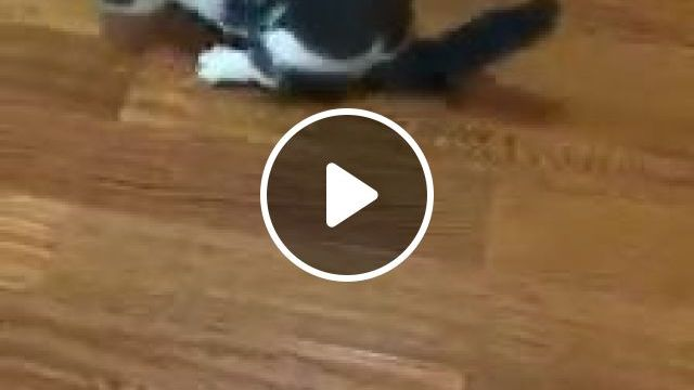 The cat has a funny gait