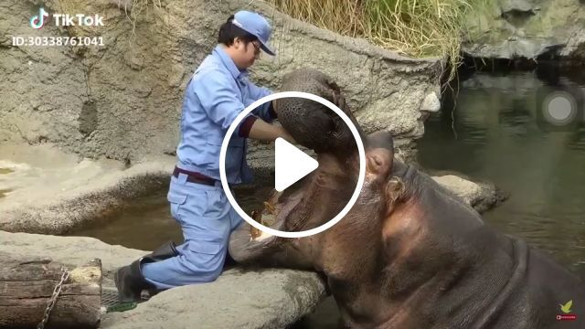 Brush your teeth to avoid cavities - Funny Videos - funvizeo.com - hippo, teeth, humor, animal