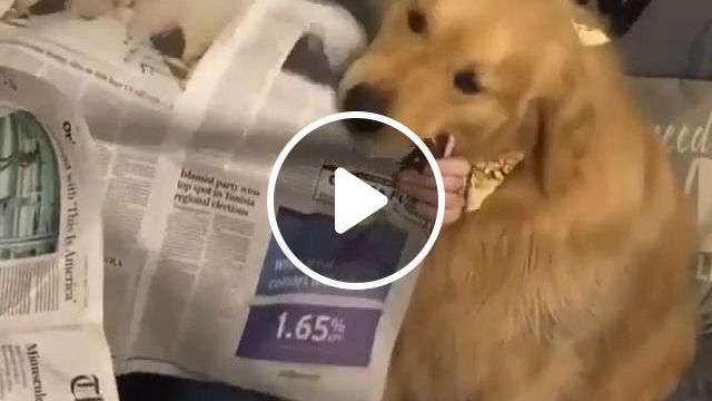 If your dog likes to eat paper, take it to your veterinarian right away - Funny Videos - funvizeo.com - Golden Retriever, Dog Eat Paper, Veterinarian, Pet, Newspaper