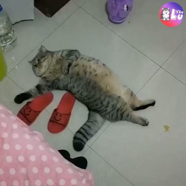 Lazy Cat Breed
