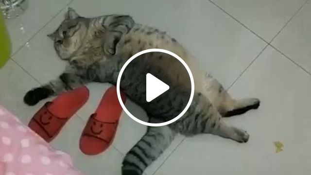 Lazy Cat Breed