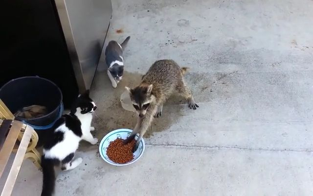 Funny and Mischievous Raccoon - Funny Videos - funvizeo.com - raccoon, funny animal, pet food, shoes, protective gloves, bowl