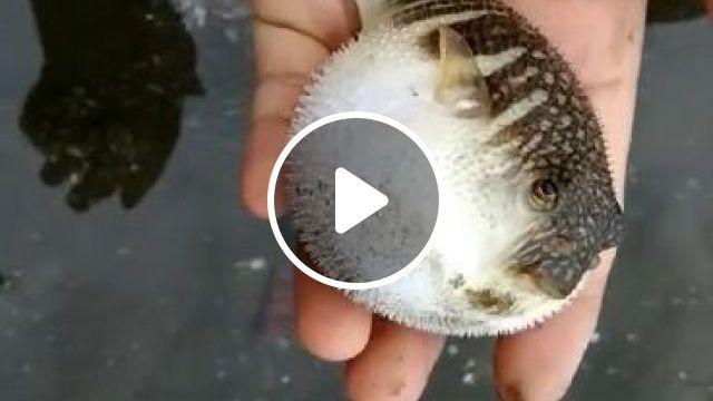 Cute Puffer Fish - Funny Videos - funvizeo.com - Puffer fish, fish, cute