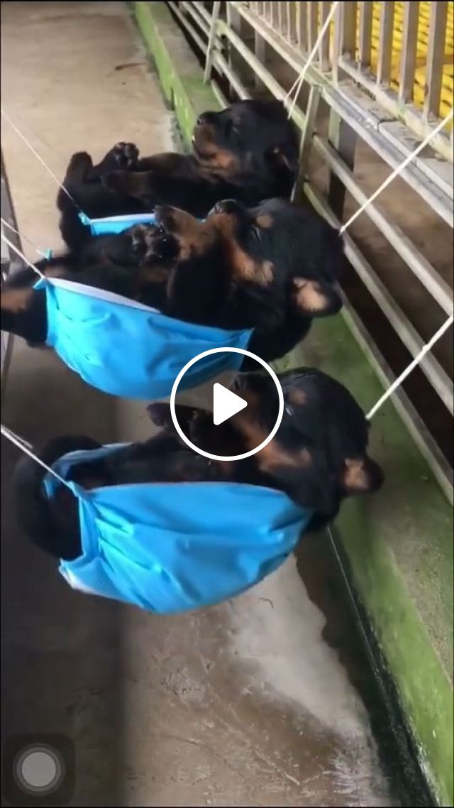 Adorable Puppies Napping in Tiny Hammocks, adorable puppies, cute pet, cute dog, puppy, hammocks, napping