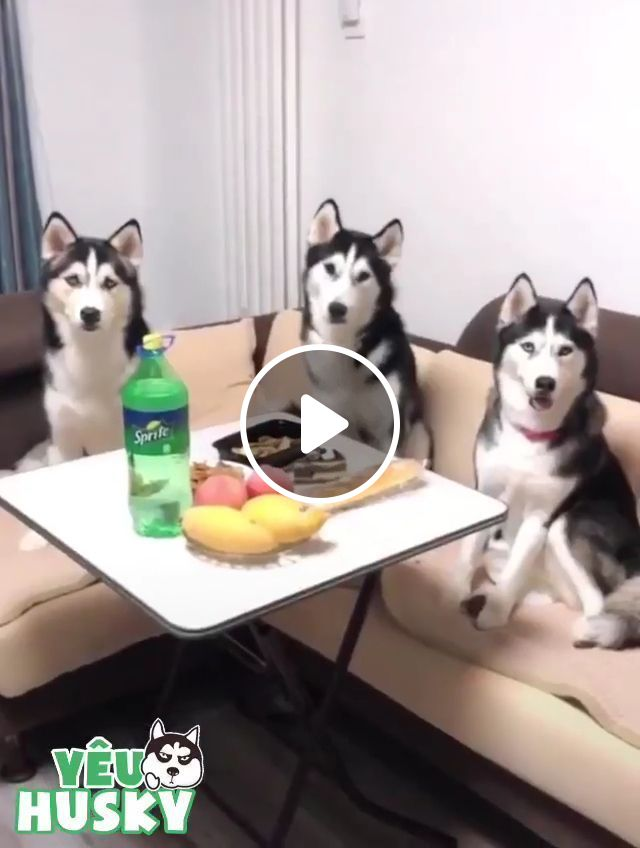 When you have three very cool dogs, dog, boss, husky, pet, funny, eat