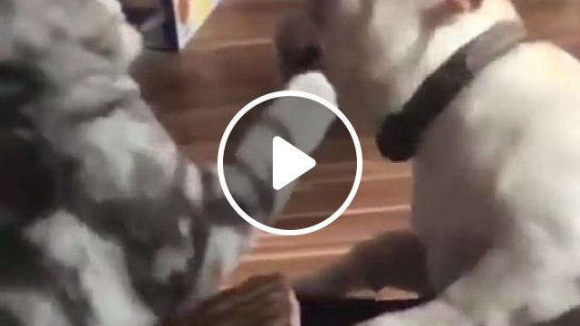 When Cat Bully Dog - Funny Videos - funvizeo.com - boss, cat, dog, pet, bully