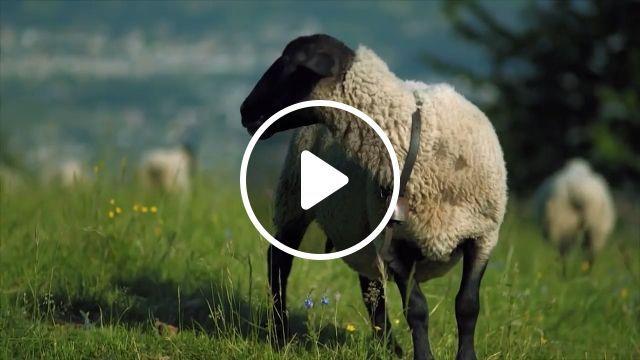 Funny Farmer, farm, funny, sheep