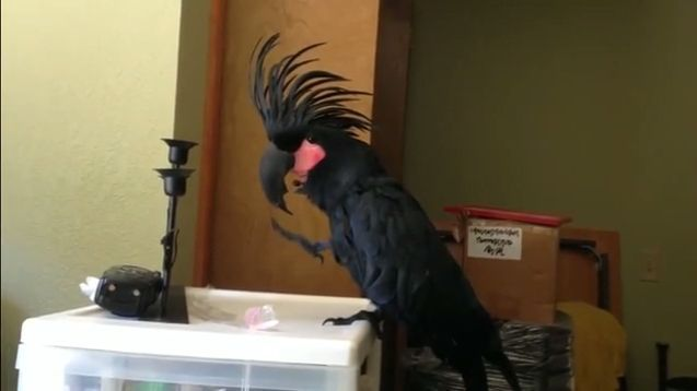 Best Drummer Ever - Funny Videos - funvizeo.com - parrots, drummer, bird, animal