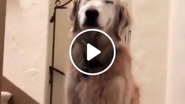 Smiling Dog Funny - Funny Videos - funvizeo.com - golden retriever,smile,cute pet