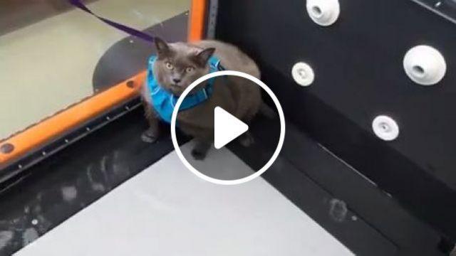 Fat Cat Exercising On Treadmill - Funny Videos - funvizeo.com - funny cat videos,funny pet,treadmill,workout