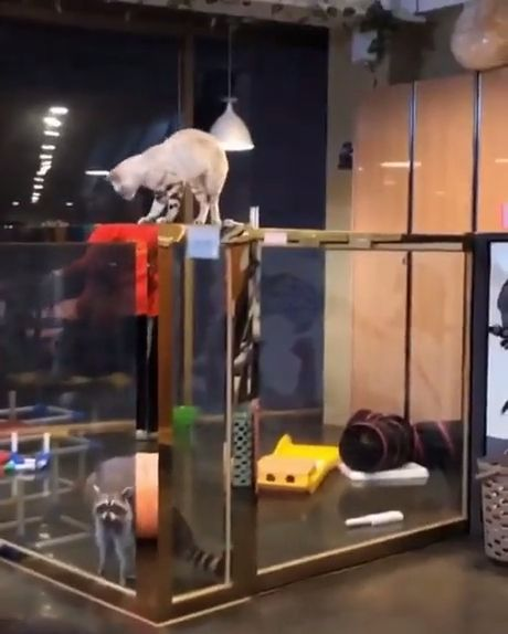Raccoon Wants To Jump Like The Cat - Funny Videos - funvizeo.com - funny animal videos,funny racoon,raccoon,funny cat