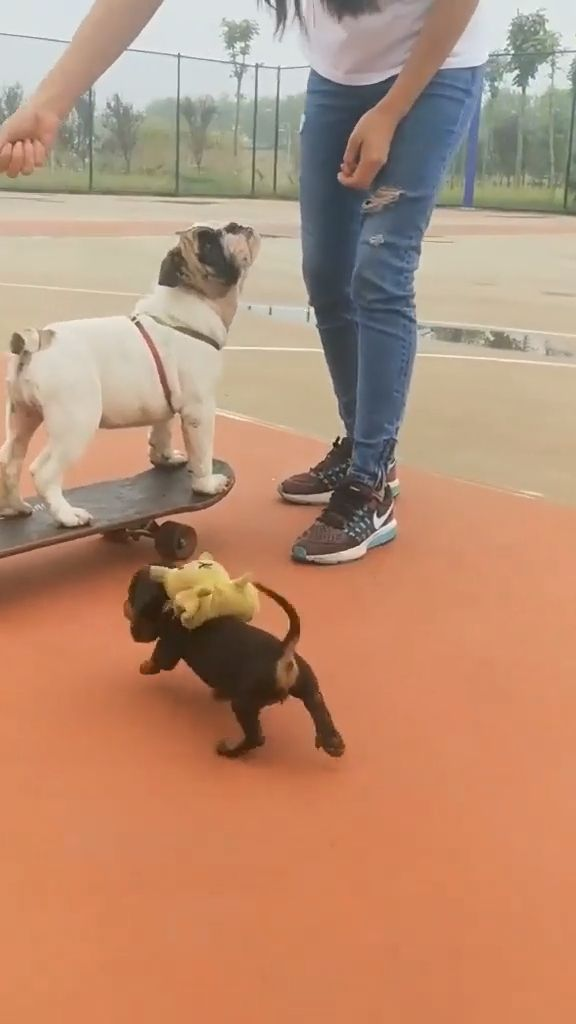 Puppy On A Skateboard - Funny Videos - funvizeo.com - funny dog videos,funny pet,bulldog,puppy,skateboarding dog