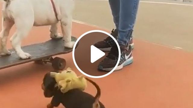 Puppy On A Skateboard, funny dog videos, funny pet, bulldog, puppy, skateboarding dog