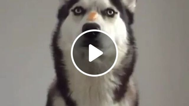 Easy challenge for an ingenious dog - Funny Videos - funvizeo.com - funny dog gifs,funny pet gifs,pet food,husky,challenge