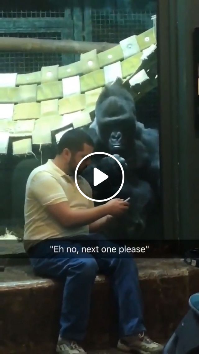 Dude Was Showing The Gorilla Pictures Of Female Gorillas And He For Real Is Like Next One Please - Video & GIFs | reddit, funny, dude_was_showing_the_gorilla_pictures_of_female