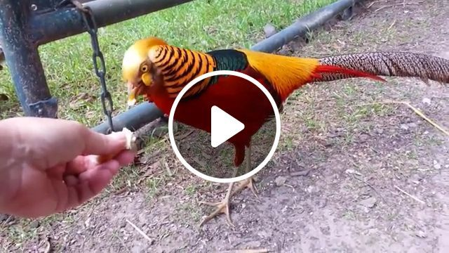 It's so beautiful, wat is this bird? - Funny Videos - funvizeo.com - cute animal videos,bird,animal