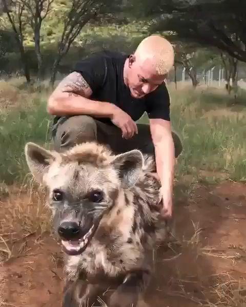 Pet Hyena - Video & GIFs | cute animals,cute hyenas,wild animals