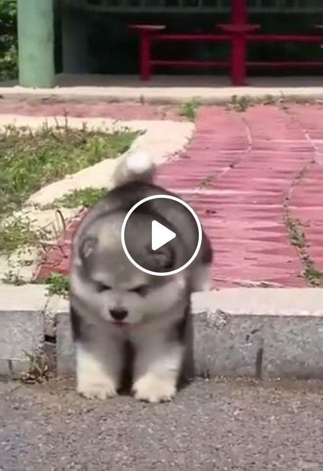 Sadness Of Short Legs - Video & GIFs   alaskan malamute, siberian husky, puppy, cute pet