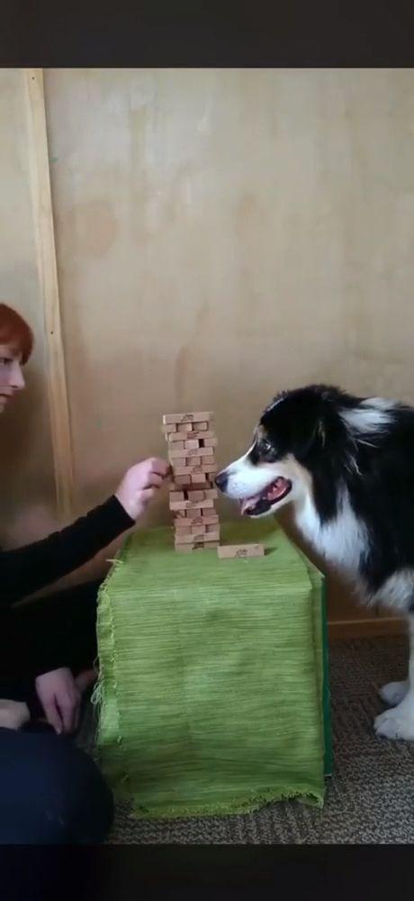 Dog Plays Jenga Like A Pro