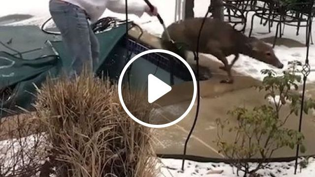 Deer Rescue - Funny Videos - funvizeo.com - animals,deer,rescue
