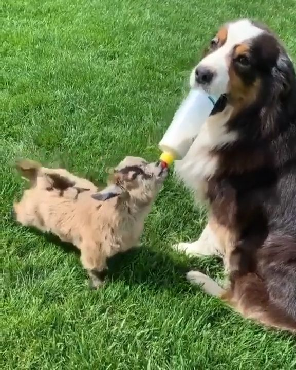 Dog Helps Bottle Feed Baby Goat