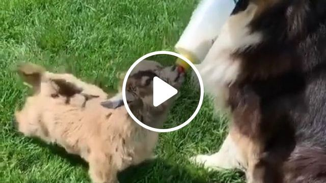Dog Helps Bottle Feed Baby Goat, cute dog videos, goat, feed, baby, adorable, cute pet