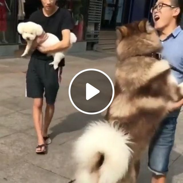 How To Carry A Big Puppy LOL - Video & GIFs | alaskan malamute, funny dog videos, funny pet, puppy