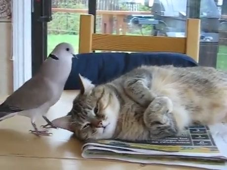 Bird annoying cat (troll dove) - Funny Videos - funvizeo.com - funny bird,funny animal videos,fat cat