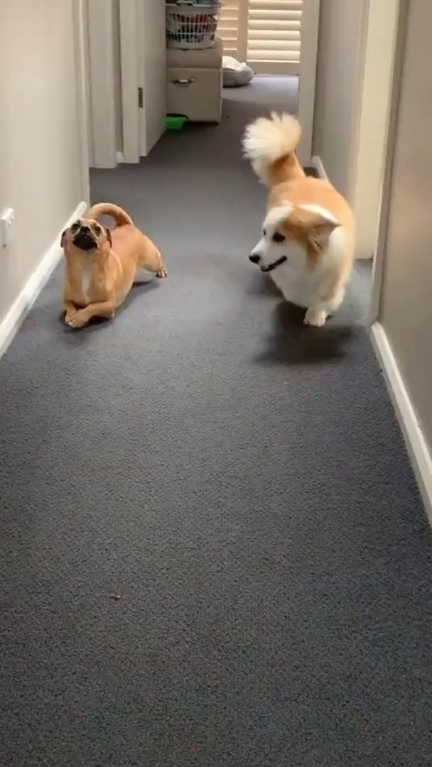 Corgis are so cute with their short legs and... me too