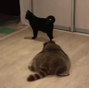Ninja Raccoon sneak attacks Cat - Video & GIFs | funny animal videos,funny raccoon videos,funny