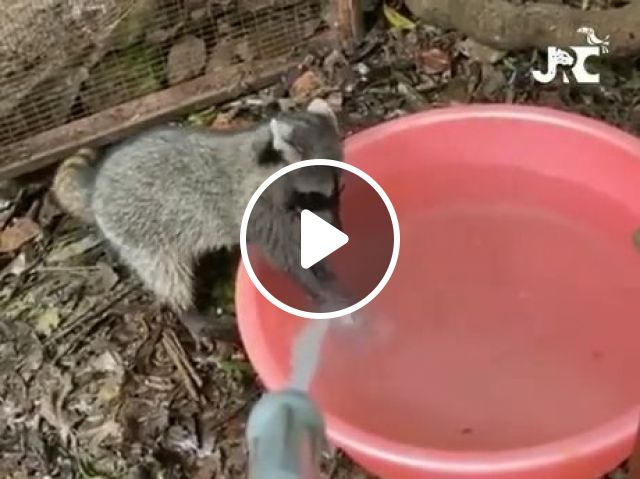Clean Hands Protect Against Infection - Video & GIFs | funny raccoon videos, wash your hands, funny animal