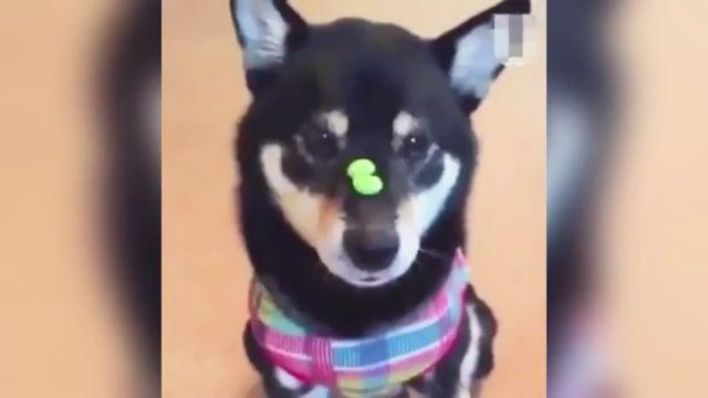 Lightning Dog - Funny Videos - funvizeo.com - shiba inu,candy,funny dog,funny pet,lightning