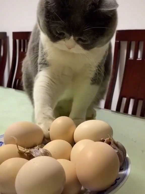 Mischievous Cat knocks eggs off table