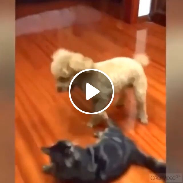 They Love WWE - Video & GIFs   wwe, funny dog, funny pet, funny cat, wrestling, sport, floor, wood floor
