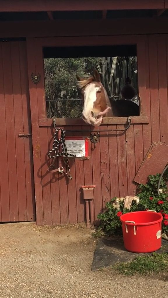 Horse Laughing GIFs - Funny Videos - funvizeo.com - funny horse,funny animal,stable,laugh