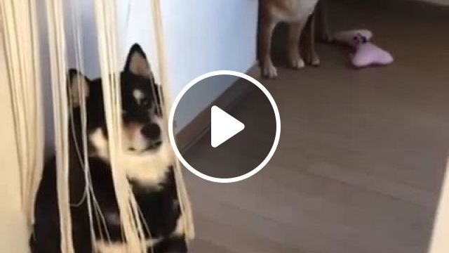 Yeah, they won't see me after this curtain. - Funny Videos - funvizeo.com - curtain,black shiba inu,shiba inu,funny dog,funny pet