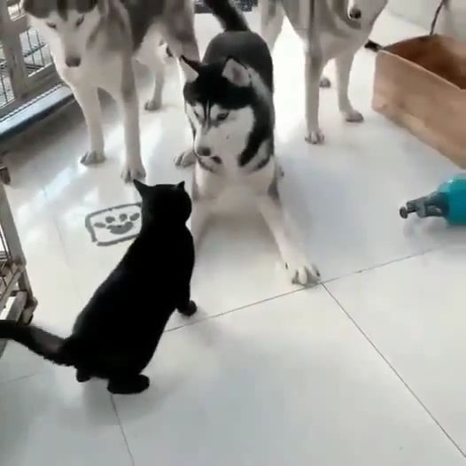 3 husky dogs blocking the cat's passage