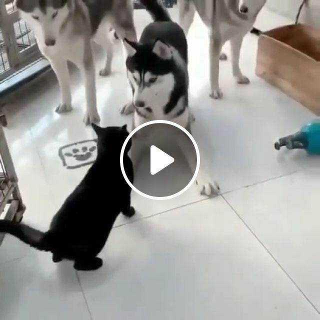 3 Husky Dogs Blocking The Cat's Passage - Video & GIFs   husky, black cat, funny dog, funny pet, kennel