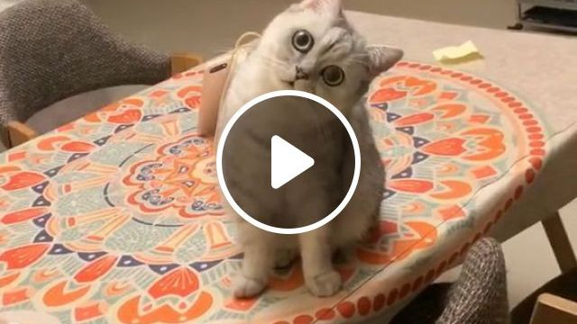 Cute Cat GIFs, cute cat gifs, cute pet gifs, dinner table