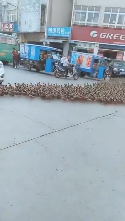 Hundreds of ducks cross the road - Funny Videos - funvizeo.com - funny animal videos,funny,duck,traffic