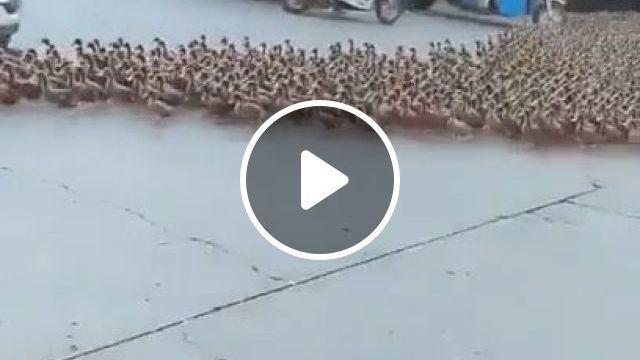 Hundreds of ducks cross the road