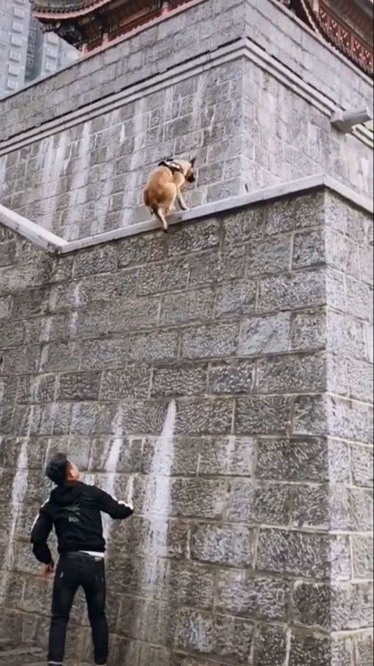 Unbelievable - Dog climbs up a high wall