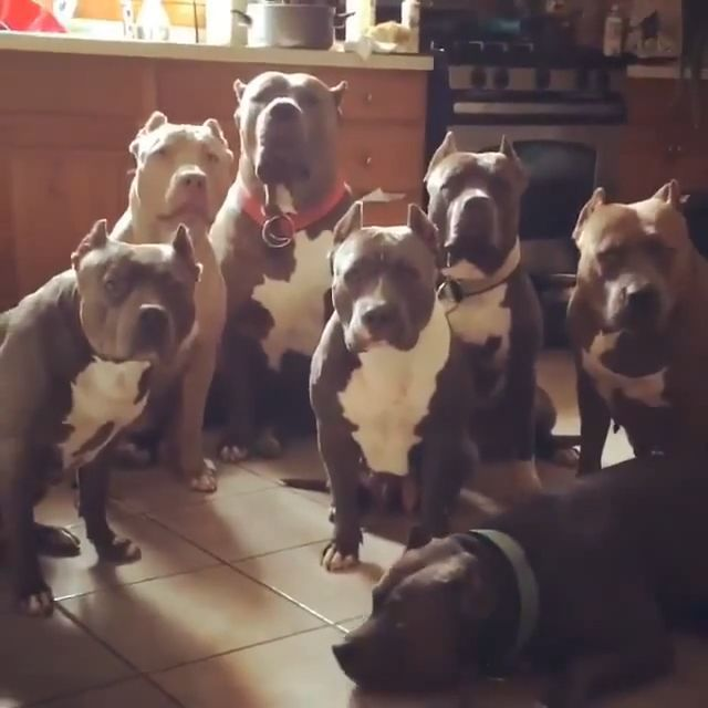 Funny GIFs - Home Alone - Funny Videos - funvizeo.com - pit bull dogs, funny, thief